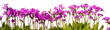Row Of Pink Primrose Flowers W...