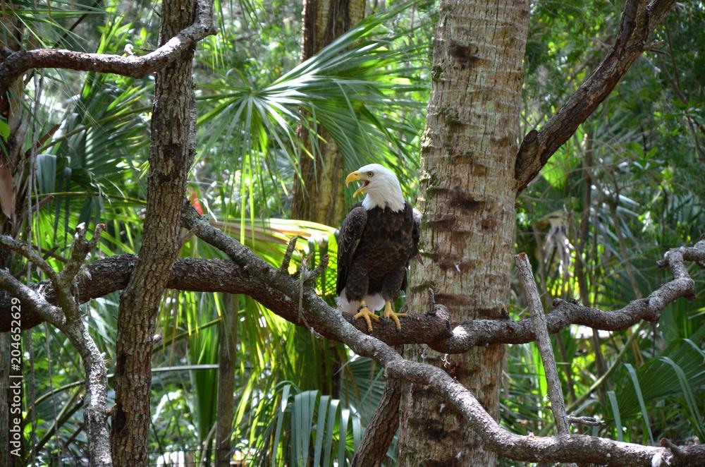 Weißkopfseeadler auf Ast in der Natur mit geöffnetem Schnabel