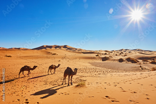 Camal caravan on trip through sand desert