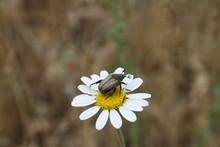 Brown Bug On A Daisy Flower