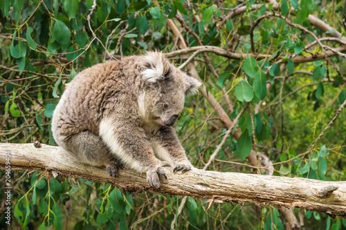 Garden Poster Koala Koala clings at wooden pole in Koala Conservation center in Cowes, Phillip Island, Victoria, Australia