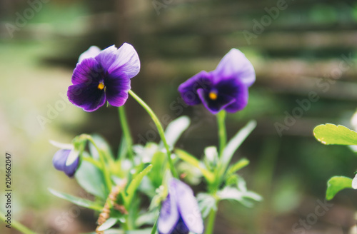 Foto op Canvas Bloemen Pansies blooming closeup lilac