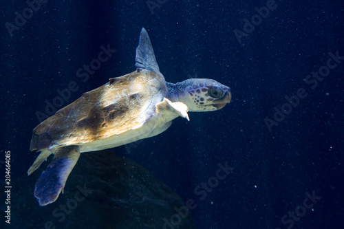 Caretta caretta - Tartaruga comune