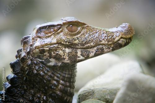 Paleosuchus palpebrosus - Caimano di Cuvier
