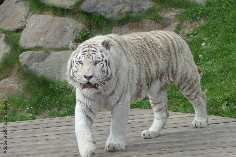 weißer Königstiger