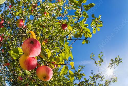 Upward view of an autumn apple tree against blue sunny sky