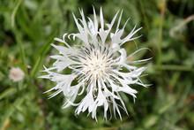 Perennial Cornflower (Centaure...