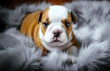 Cute English Bulldog Puppy,sel...