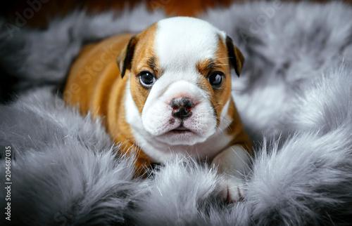 Obraz Cute english bulldog puppy,selective focus - fototapety do salonu