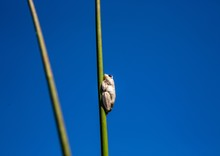 Marbled Reed Frog At  The Okav...