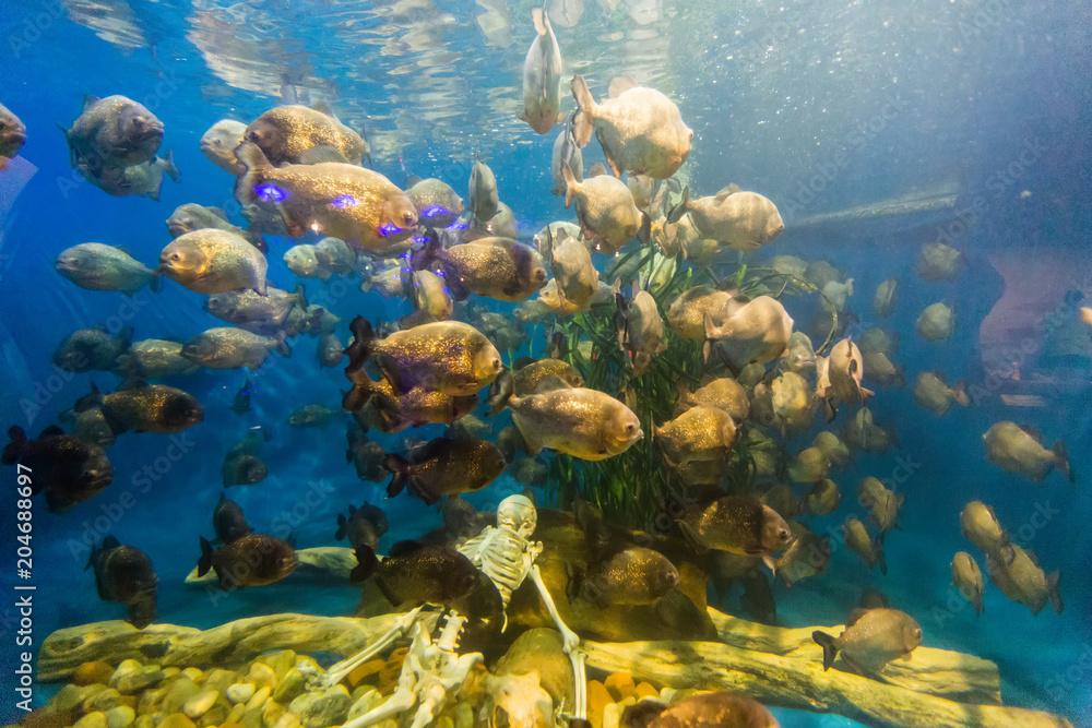 Valokuva  piranha fish swim around human skeleton in big aquarium