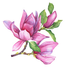 Branch Of Pink Magnolia Liliif...