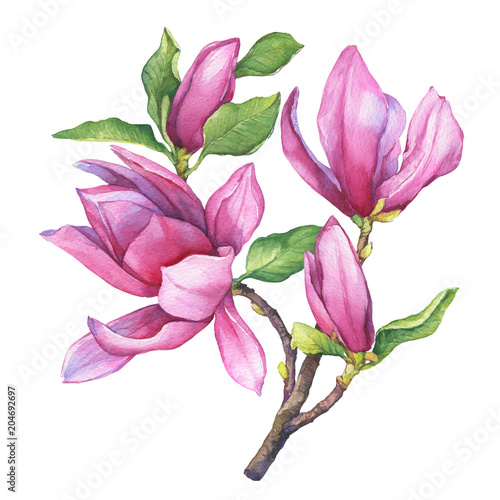 Branch of purple magnolia liliiflora (also called mulan magnolia) with flowers and leaves Poster