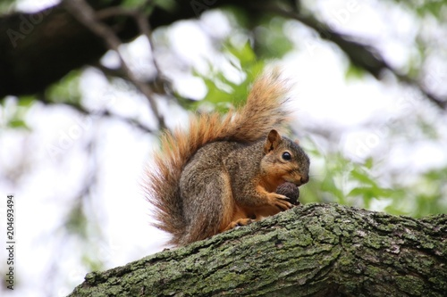 Deurstickers Eekhoorn Squirrel with Nut