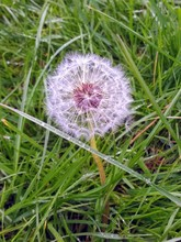 A Close Up Of Large Dandelion ...