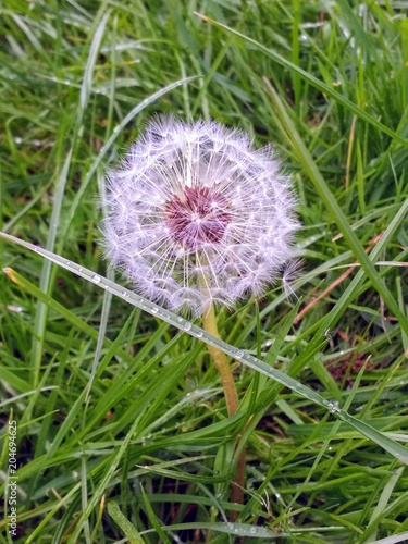 A Close Up Of Large Dandelion Puff Ball Seed Head With Delicate