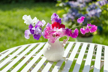 Sweet Pea Flowers In A White V...
