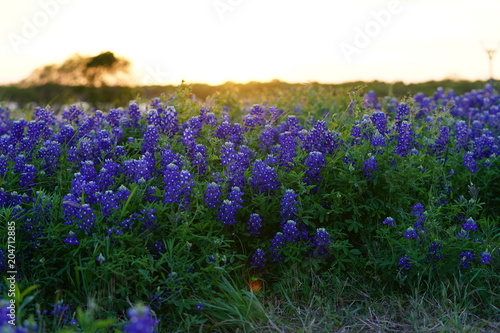 Poster Texas View of blooming bluebonnet wildflowers at a park near Texas Hill Country during spring time
