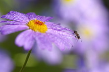 The Ant On The Flower Brachyco...