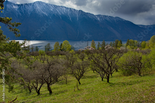 Staande foto Nachtblauw Russia. The South Of Western Siberia. Flowering apricots on Teletskoe lake in the Altai Mountains.