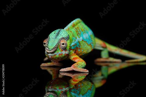 Fototapeta premium żywy gad kameleon