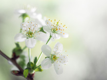 Apple Blossom. White Flowers, ...