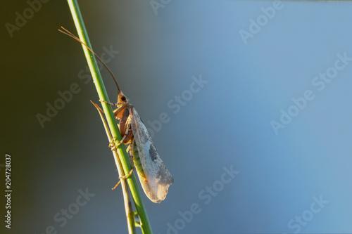 Köcherfliege (Trichoptera)