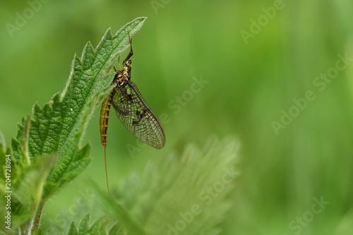 Eintagsfliege (Ephemeroptera)