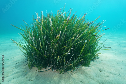 Seagrass underwater, a tuft of Neptune grass, Posidonia oceanica, on a sandy seabed, Mediterranean sea, Balearic islands, Ibiza, Spain