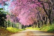 Beautiful View Big Tree Of Pink Cherry Blossom At Khun Wang National Park At Chiang Mai In Thailand