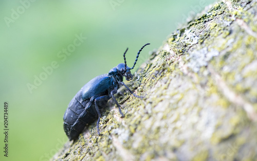 black oil beetle Wallpaper Mural