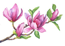 Branch Of Purple Magnolia Lili...