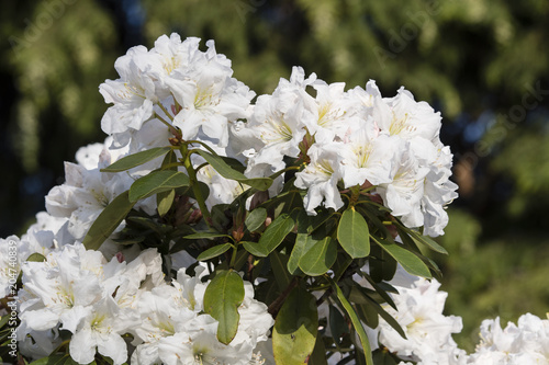 Papiers peints Azalea White azalea flowers on a bush outdoors.