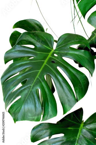 plant monstera leaves white background