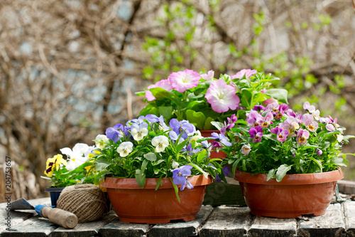 Poster Pansies gardening tools and colorful pansy flowers