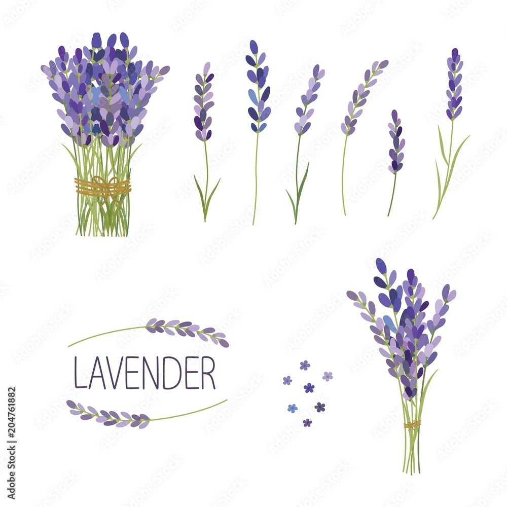 Fototapety, obrazy: Set of lavender flowers elements. Collection of lavender flowers on a white background.