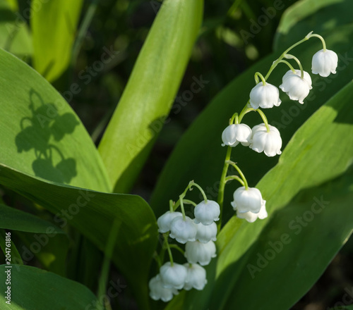 Foto op Aluminium Lelietje van dalen Sunlit flower of the lily of the valley. Selective focus.