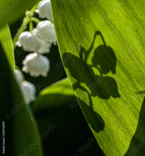 In de dag Lelietje van dalen The shadow of the flower on the sunlit leaf of a lily of the valley. Selective focus.