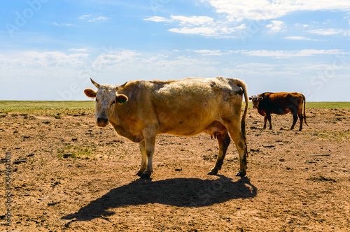 Cows on field Poster
