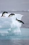 Pingwiny Adelie skaczą z góry lodowej - 204771406