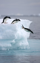 Adelie Penguins Leap From Iceb...