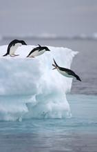 Adelie Penguins Leap From Iceberg