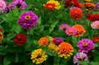 canvas print picture - Zinnie; Zinnien; Zinnia; Bluete;