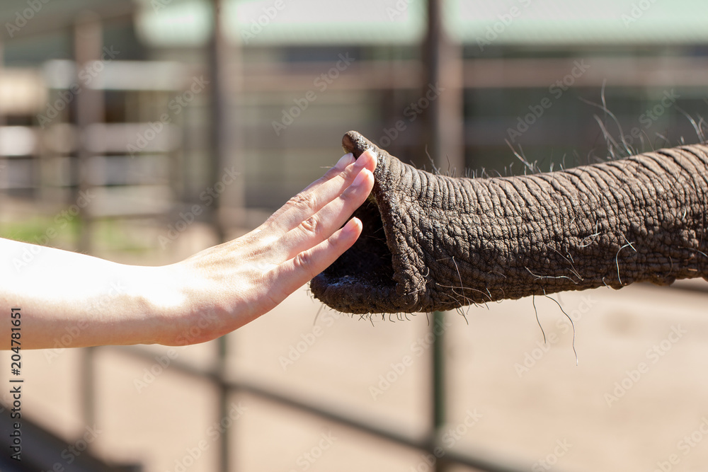 a human hand touches an elephant trunk