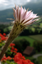 Cacti Flower In Window Box, Graepplang, Flums , Swiss Alps