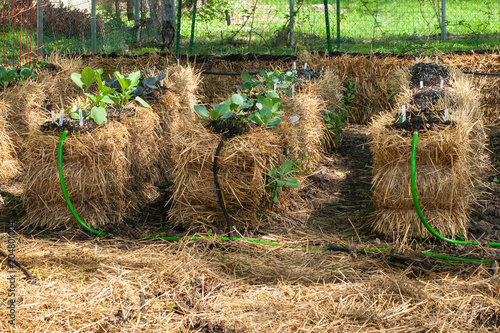Straw Bale Garden with plants coming up Canvas Print