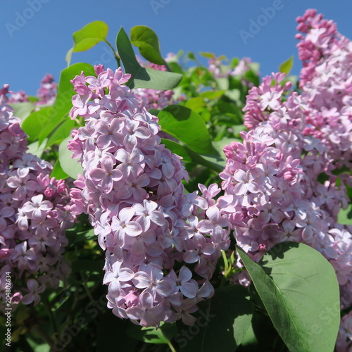 Staande foto Lilac Syringa, bright lilac lilac flowers blooming in front of blue sky