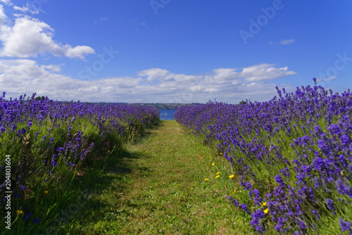 Fotobehang Lavendel Hall of lavenders that ends with a view of Lake Llanquihue in the city of Frutillar, southern Chile