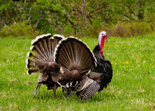 Spring Mood Of The Gobblers.
