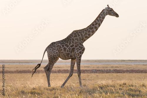 Staande foto Giraffe Giraffe walking in the bush on the desert pan. Wildlife Safari in the Etosha National Park, the main travel destination in Namibia, Africa. Profile view.